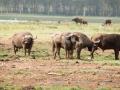Wasserbüffeöhorde-Afrika