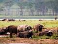 Wasserbüffel-Afrika-Lake-Nakuru