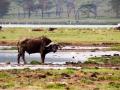 Wasserbüffel-Lake-Nakuru-Ufer