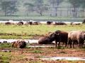 Wasserbüffel-im-schlamm-Afrika