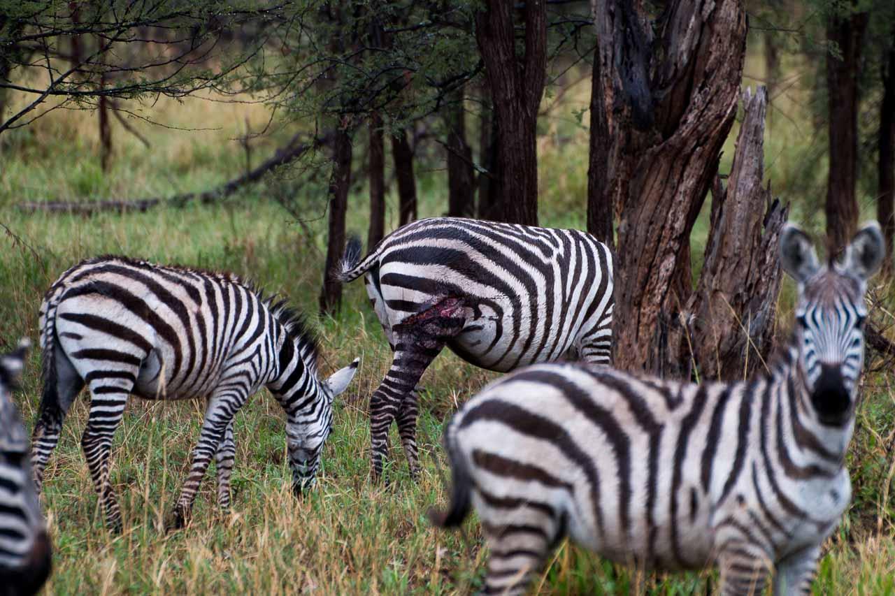 Zebra (15)