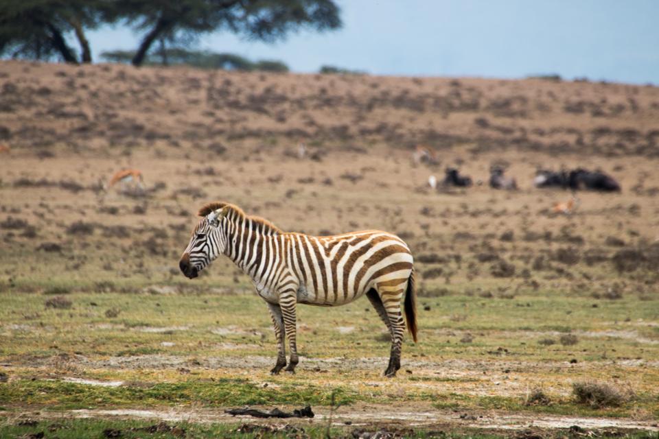 Zebra-einsam-LakeNakuru