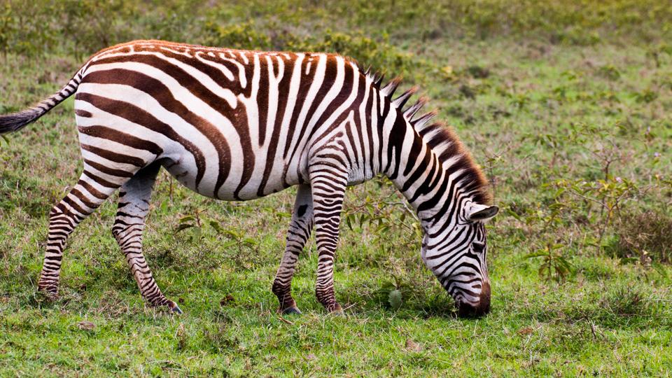 Zebra-von-der-Seite-Lake-Nakuru