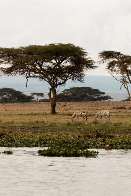 Zebrapärchen-Lake-Nukuru-Afrika
