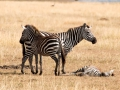 Zebra (10)