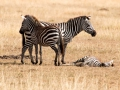 Zebra (11)
