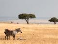 Zebra (13)