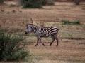 Zebra (16)