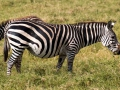 Zebra (18)