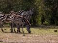 Zebra (6)