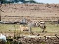 Zebra-alleine-LakeNakuru