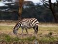 Zebra-am-LAke-Nakuru